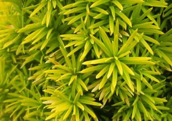 Image of Taxus baccata 'Standishii' 12cm Pot Size