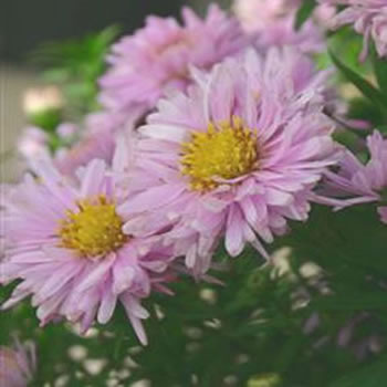 Image of Aster 'Rose Quartz' 15cm Pot Size