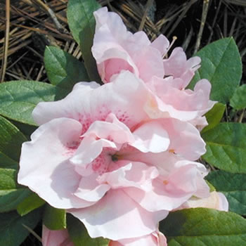 Image of Azalea japonica Evergreen  'Nancy of Robin Hill' 13cm Pot Size