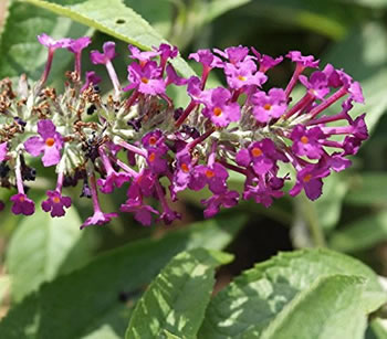 Image of Buddleja Buzz 'Magenta' - Butterfly Bush 15cm Pot Size