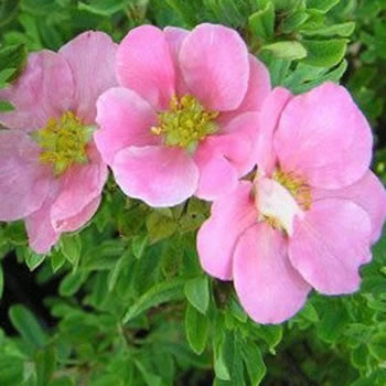 Image of Potentilla fruticosa 'Lovely Pink' 19cm Pot Size