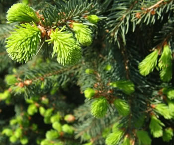 Image of Picea abies 80cm tall 26cm Pot Size