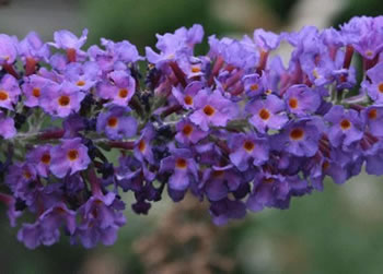 Image of Buddleja 'Empire Blue' 19cm Pot Size