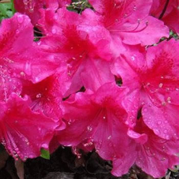 Image of Azalea japonica Evergreen  'George Arends' 13cm Pot Size
