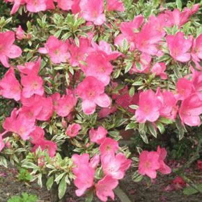 Image of Azalea japonica Evergreen  'Silver Queen' 13cm Pot Size