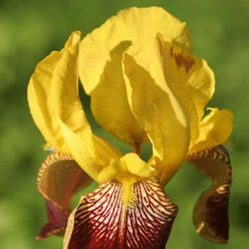 Image of Iris germanica 'Flammen Schwert' 12cm Pot Size