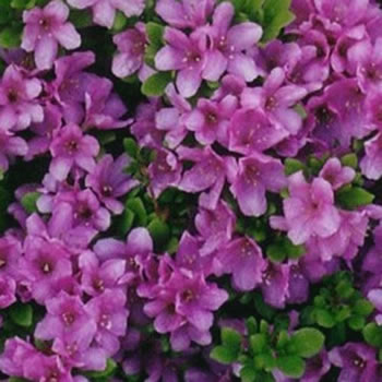 Image of Azalea japonica Evergreen  'Multiflora Purper' 13cm Pot Size