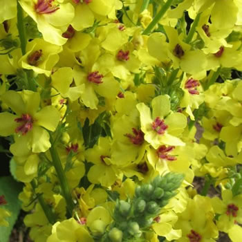 Image of Verbascum 'Gainsborough' 15cm Pot Size