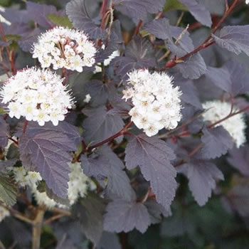 Image of Physocarpus opulifolius 'Diablo' 19cm Pot Size