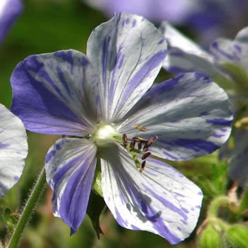 Image of Geranium 'Splish Splash' 15cm Pot Size