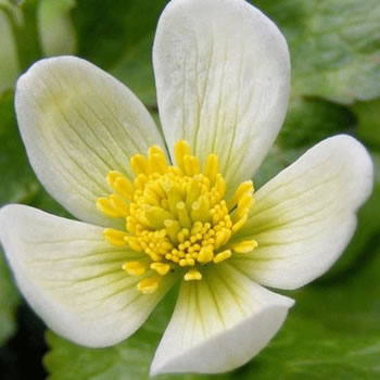 Image of Caltha palustris 'Alba' 15cm Pot Size