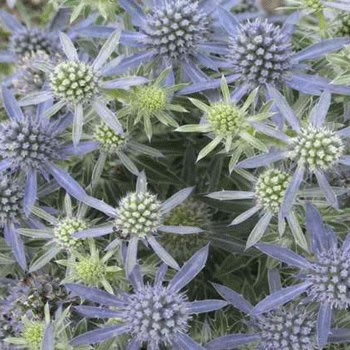 Image of Eryngium 'Blue Hobbit' 19cm Pot Size