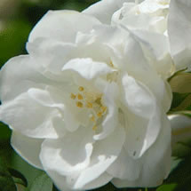 Image of Philadelphus 'Virginal' - Mock Orange 19cm Pot Size