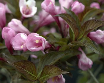 Image of Weigela 'Foliis Purpureis' 19cm Pot Size