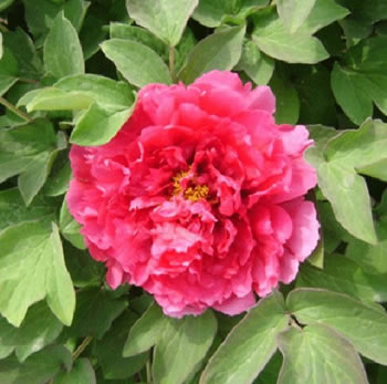 Image of Japanese Tree Peony Light Red 9cm Pot Size