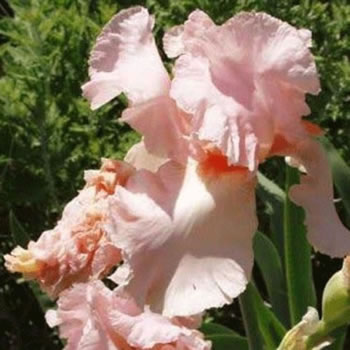 Image of Iris germanica 'Constant Wattel 12cm Pot Size