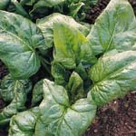 Image of Spinach plants