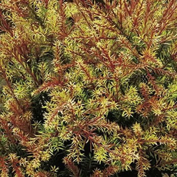 Image of Podocarpus 'County Park Fire' 19cm Pot Size