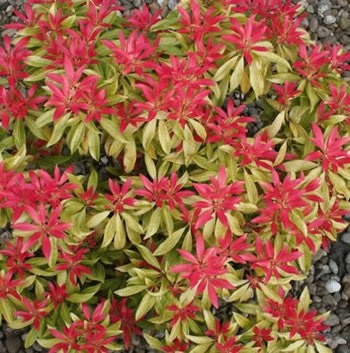 Small Image of Pieris formosa 'Forest Flame' 15cm Pot Size