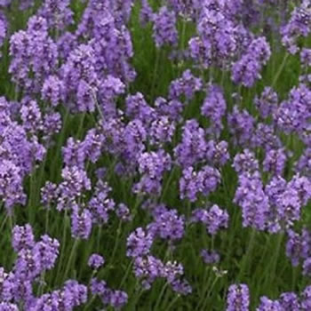 Image of Lavandula angustifolia 12cm Pot Size
