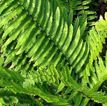 Image of Dryopteris atrata 15cm Pot Size