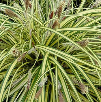 Image of Carex hachijoensis 'Evergold' 15cm Pot Size