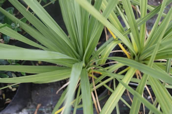 Image of Cordyline australis Hardy Palm 19cm Pot Size