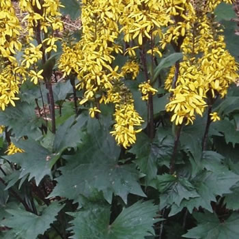 Image of Ligularia 'Little Rocket' 15cm Pot Size