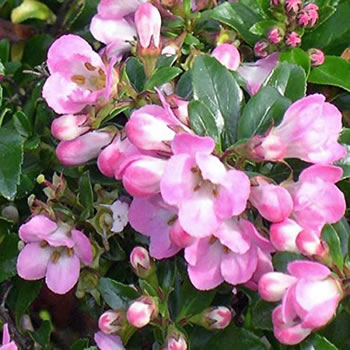 Image of Escallonia 'Apple Blossom' 15cm Pot Size