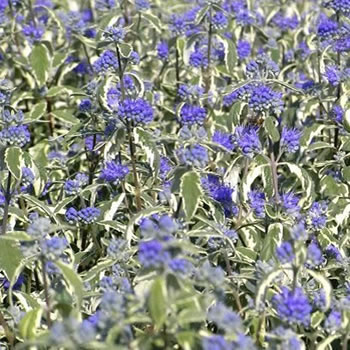 Image of Caryopteris 'White Surprise' 19cm Pot Size