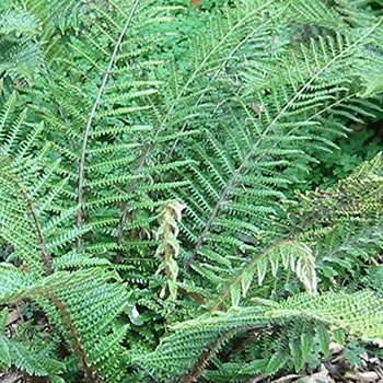 Image of Polystichum polyblepharum 15cm Pot Size