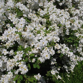 Image of Exochorda x macrantha 'The Bride' 19cm Pot Size