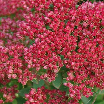Image of Sedum munstead 'Dark Red' 15cm Pot Size