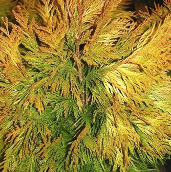 Image of Thuja plicata '4Ever Goldy' 15cm Pot Size