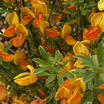 Image of Cytisus scoparius 'Apricot Gem' 12cm Pot Size