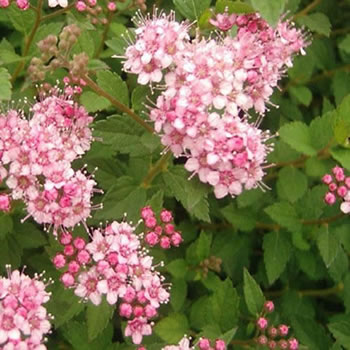 Image of Spiraea japonica 'Little Princess' 19cm Pot Size