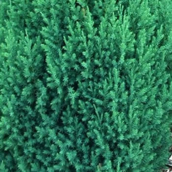 Image of Juniperus chinensis 'Stricta' 13cm Pot Size