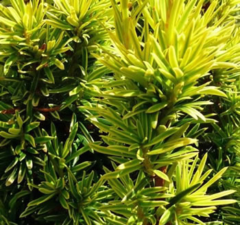Image of Taxus baccata 'David' 15cm Pot Size