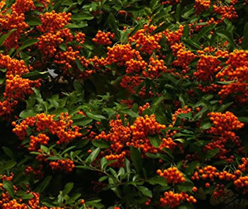 Image of Pyracantha 'Mohave Silver' 15cm Pot Size