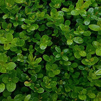 Image of Buxus sempervirens Pack of 6 plants