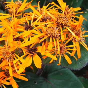 Image of Ligularia dentata 'Desdemona' 15cm Pot Size