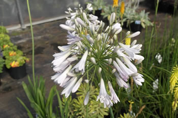 Image of Agapanthus 'Windsor Grey' 15cm pot Size