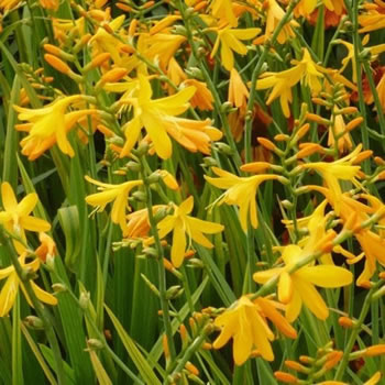 Image of Crocosmia 'George Davison' 12cm Pot size