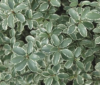 Image of Pittosporum tenuifolium 'Marjory Channon' 19cm Pot Size