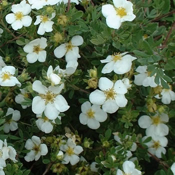 Image of Potentilla fruticosa 'Abbotswood' 19cm Pot Size