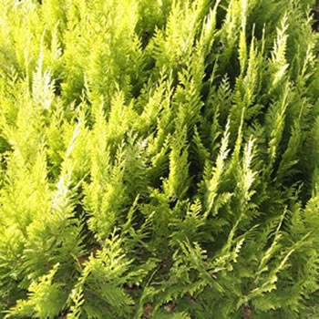 Image of Chamaecyparis lawsoniana 'Ivonne' 13 cm Pot Size