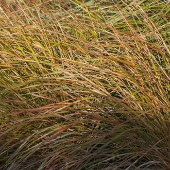 Image of Stipa 'Arundinacea' 15cm Pot Size