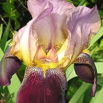 Image of Iris germanica 'Indian Chief' 12cm Pot Size