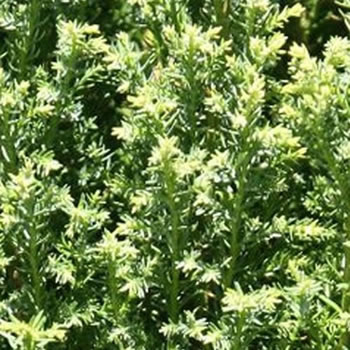 Image of Chamaecyparis lawsoniana 'Snow White ' 13cm Pot Size