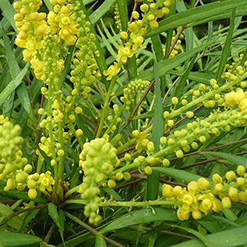 Image of Mahonia eurybracteata 'Soft Caress' 19cm Pot Size